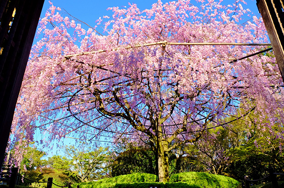 Benishidare Sakura (Signature Weeping Cherry Trees)